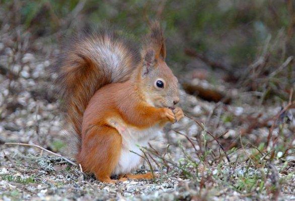 scoiattolo_rosso